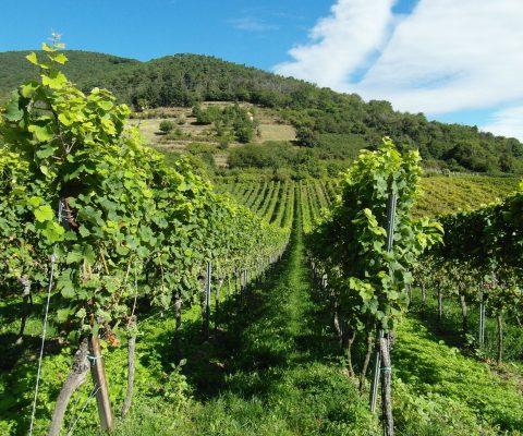 Die Pfalz: Deutschlands Weingebiet